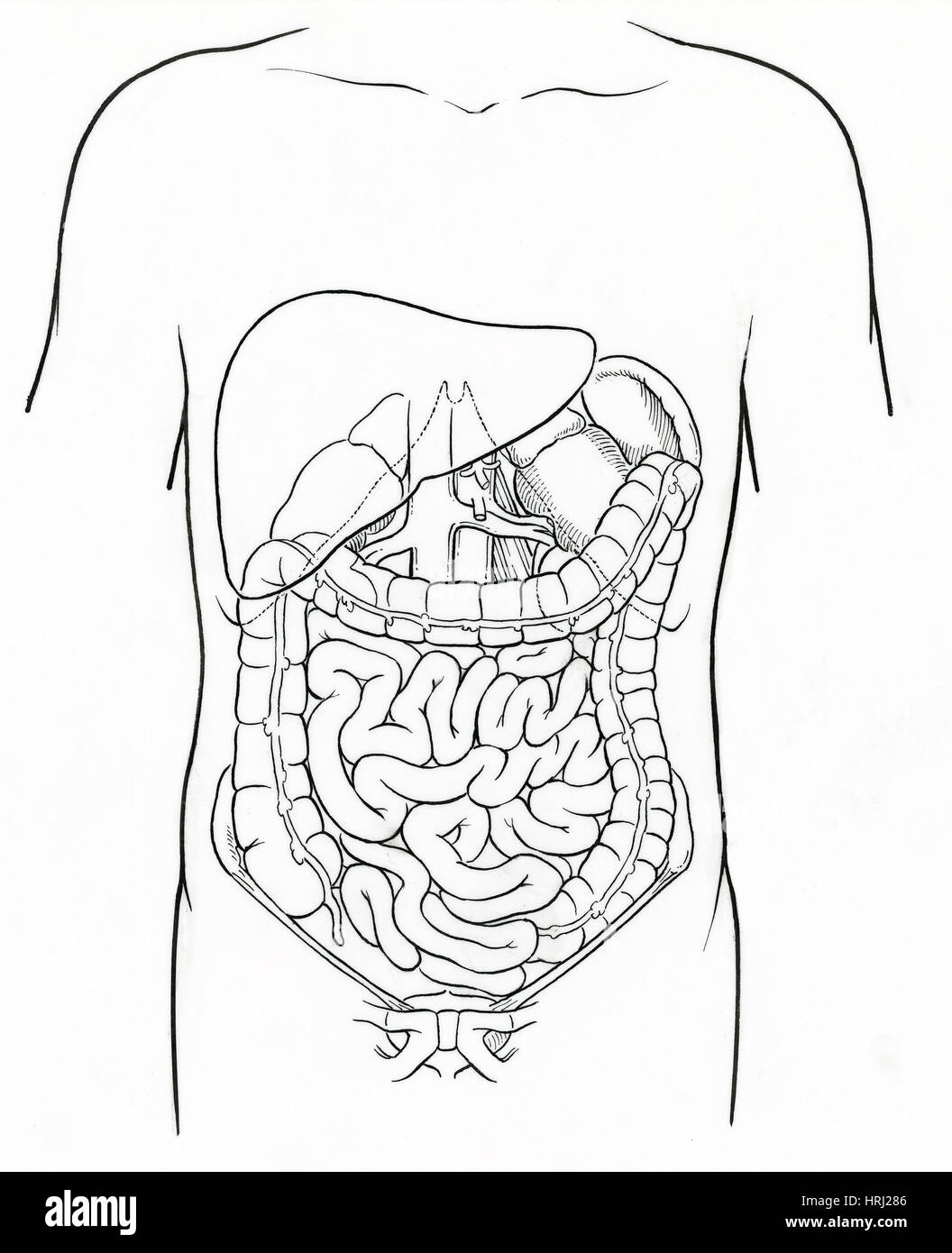 Illustration of Abdomen - Stock Image