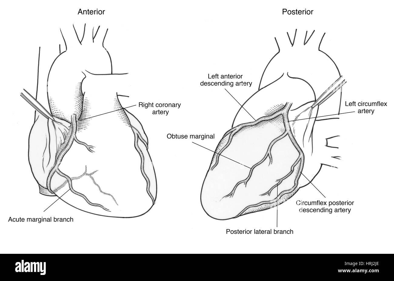 Illustration of Coronary Arteries Stock Photo: 135006886 - Alamy
