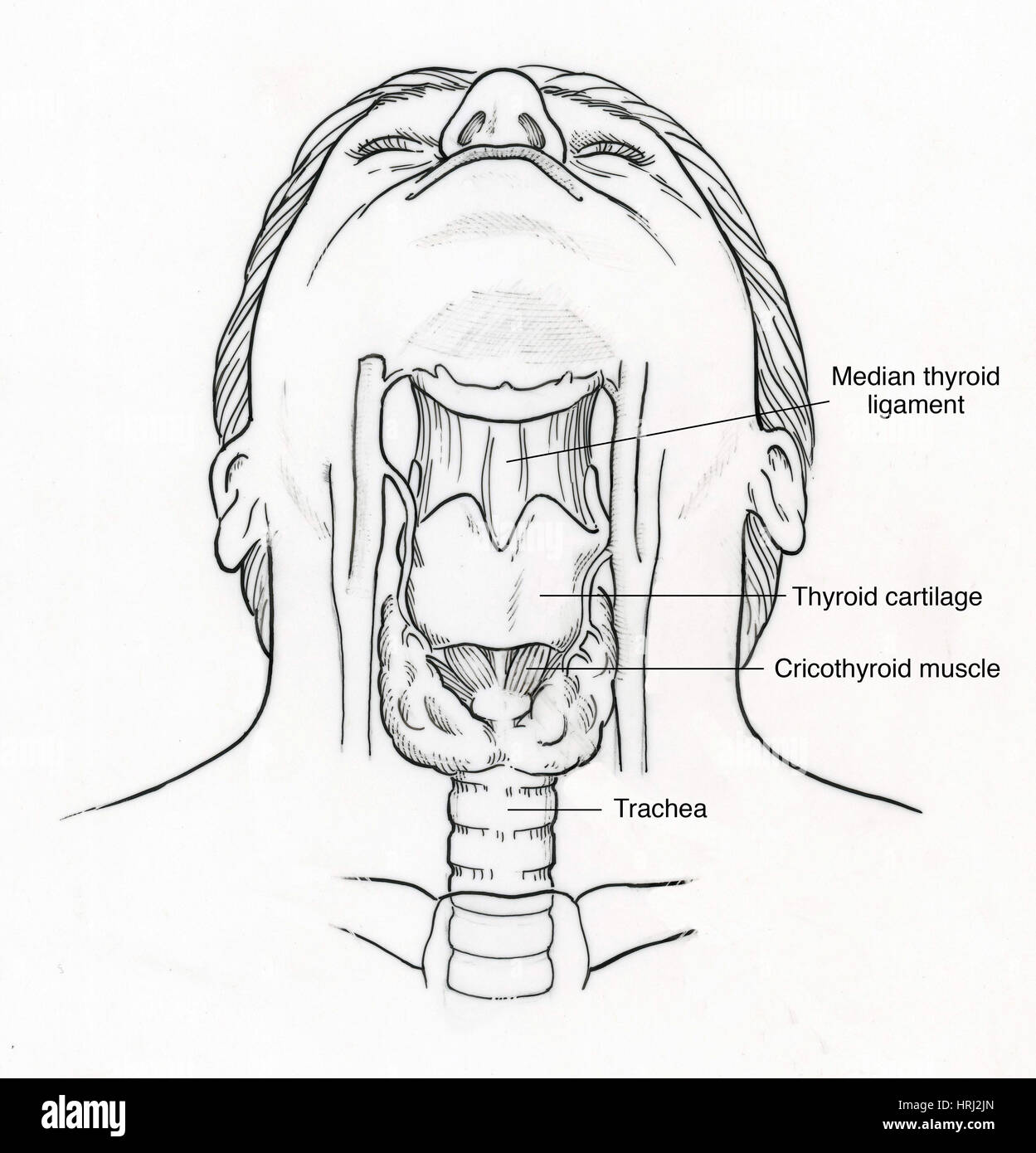 Illustration of Throat Anatomy Stock Photo: 135006893 - Alamy