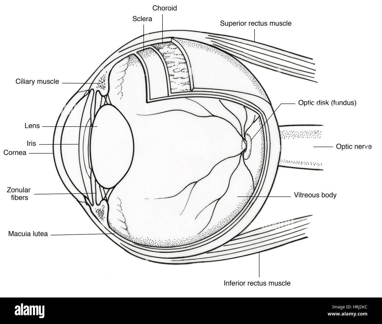 Illustration of Eye Anatomy Stock Photo: 135006912 - Alamy