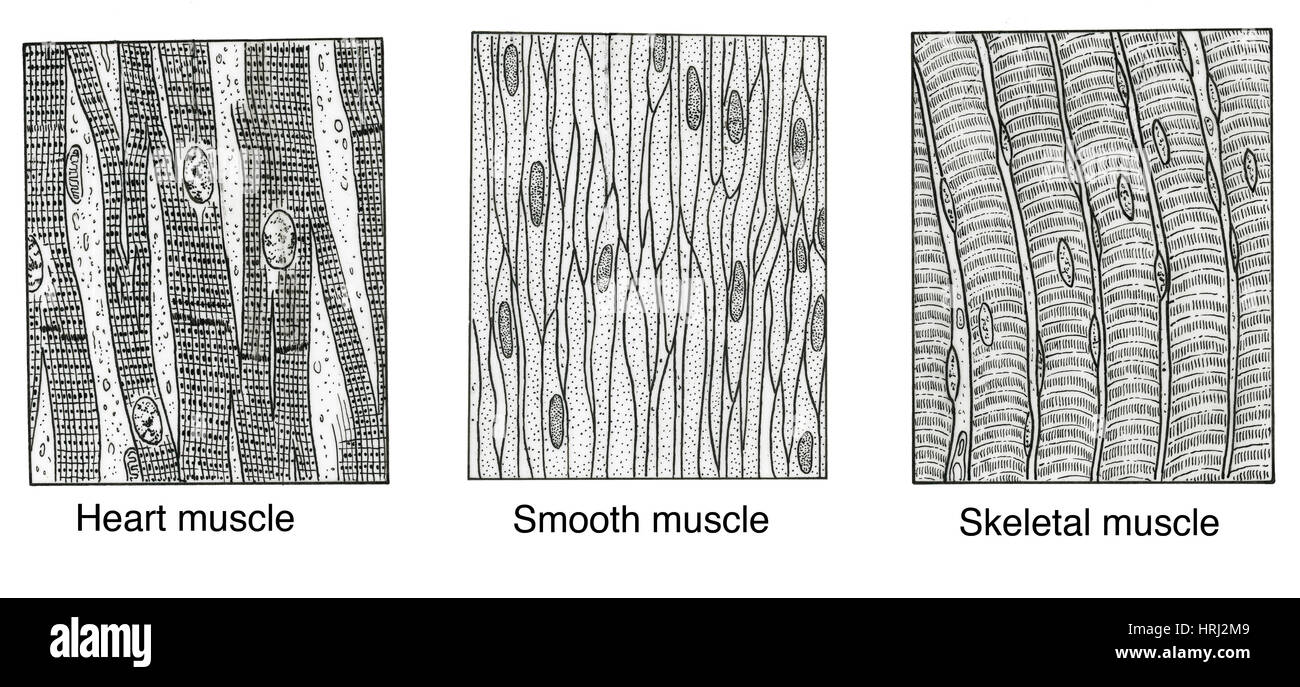 Illustration of Muscle Types Stock Photo