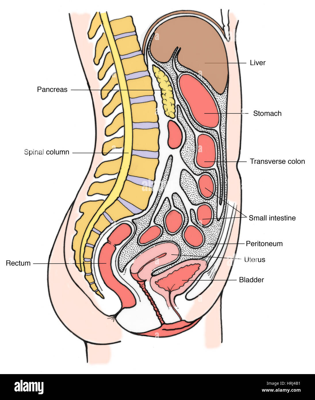 Illustration of Female Internal Organs Stock Photo: 135008245 - Alamy