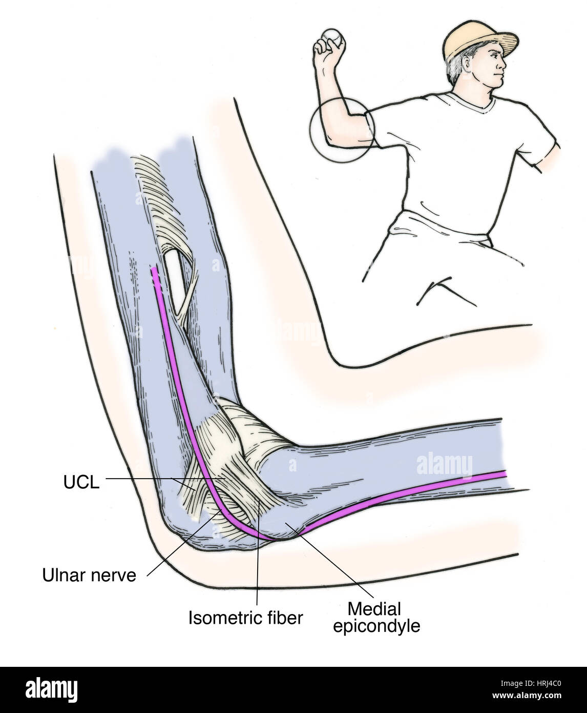 Ulnar Collateral Ligament Stock Photos Ulnar Collateral Ligament