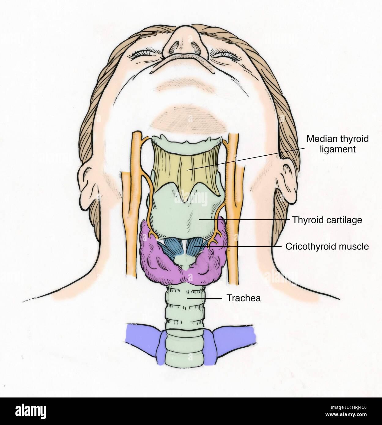 Illustration of Throat Anatomy Stock Photo: 135008278 - Alamy