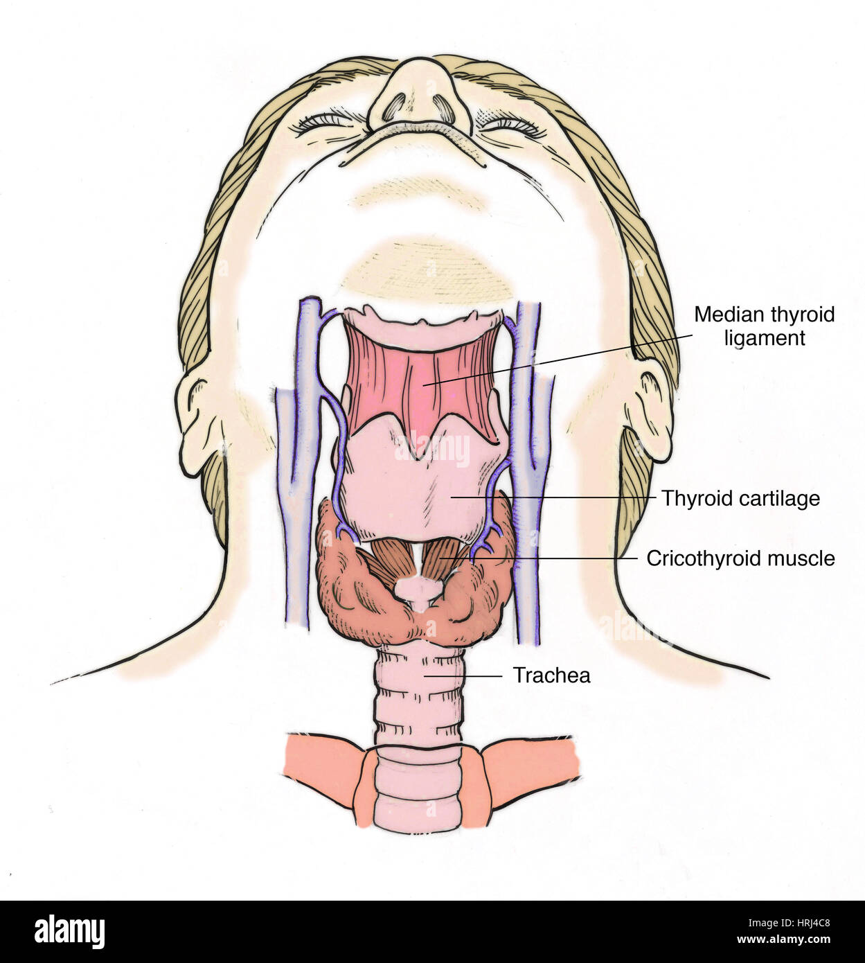 Illustration of Throat Anatomy Stock Photo: 135008280 - Alamy