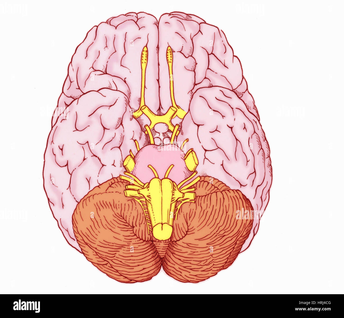 Cranial Cut Out Stock Images & Pictures - Alamy
