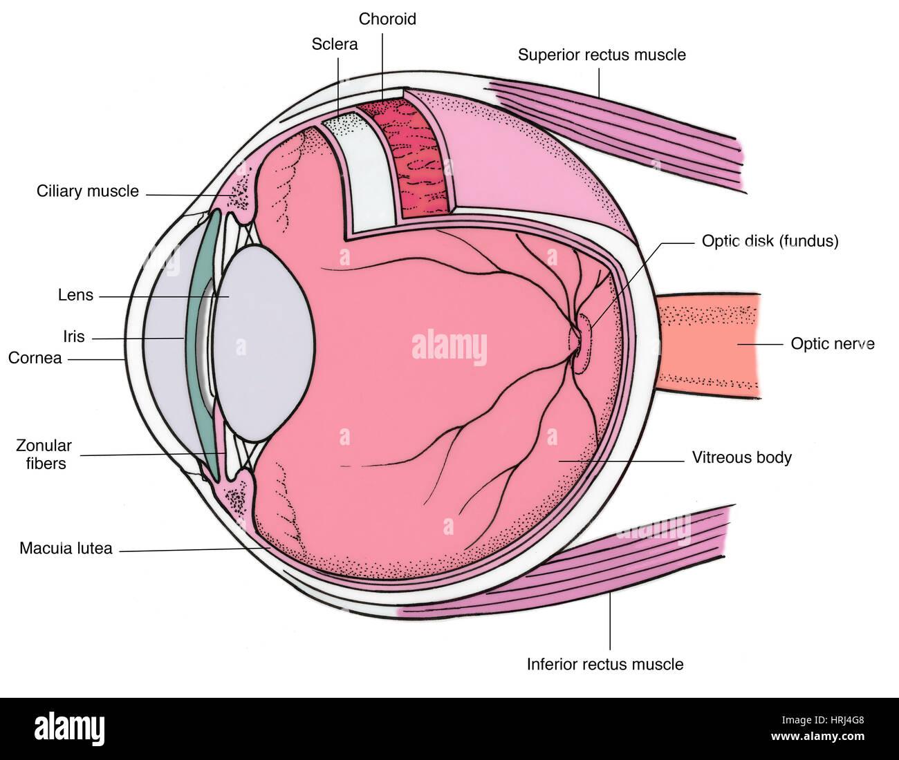 Illustration Of Eye Anatomy Stock Photo 135008392 Alamy