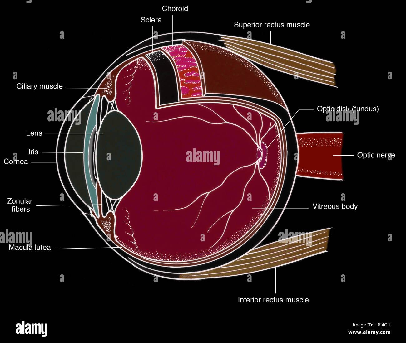 Illustration of Eye Anatomy Stock Photo: 135008401 - Alamy