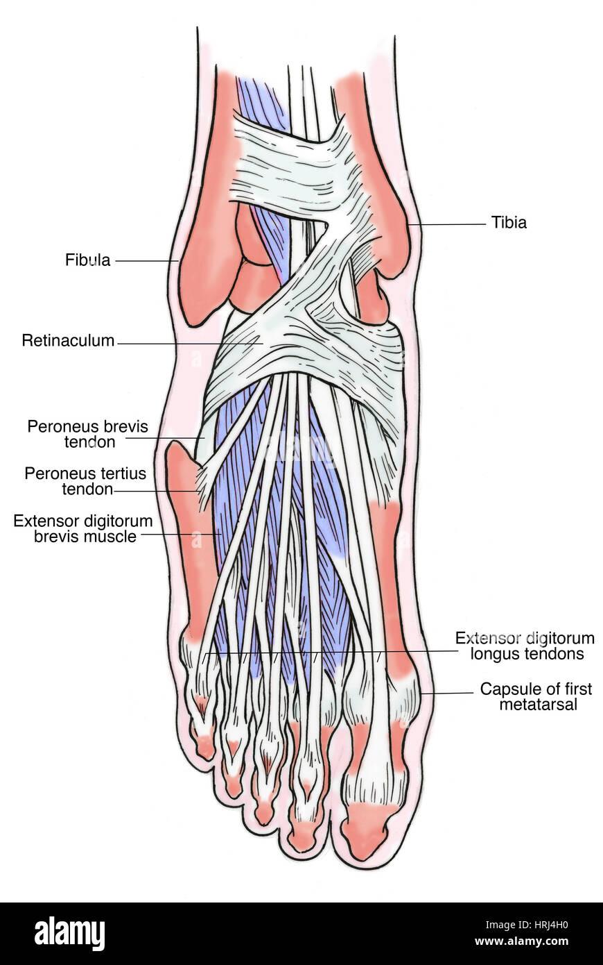 Extensor Digitorum Brevis Muscle Stock Photos Extensor Digitorum