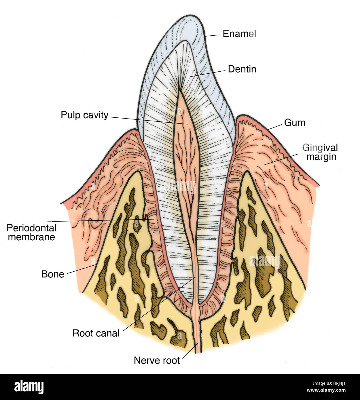 molar tooth structure - HD 1250×1390