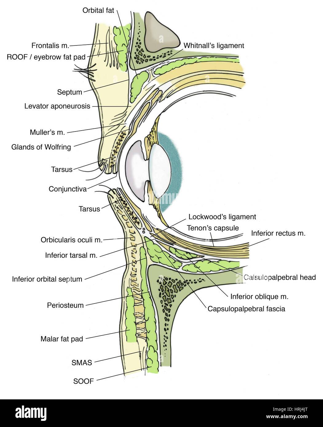 Illustration of Eye Anatomy Stock Photo: 135008464 - Alamy