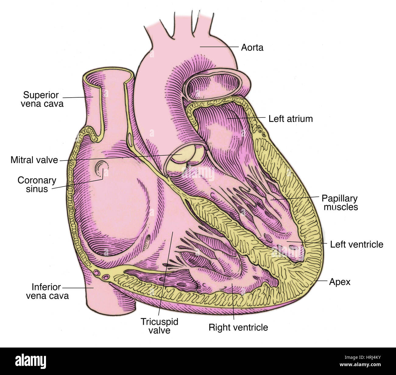 Illustration of Heart Anatomy Stock Photo: 135008495 - Alamy