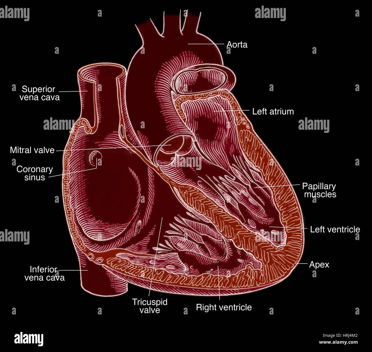Illustration of Heart Anatomy Stock Photo: 135008498 - Alamy