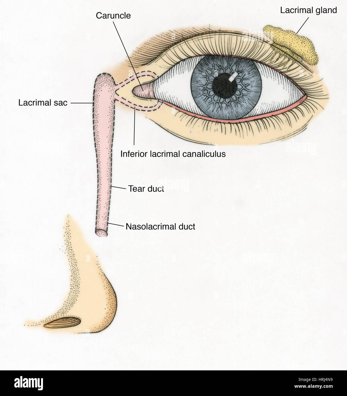 Illustration of Tear Duct Stock Photo: 135008533 - Alamy