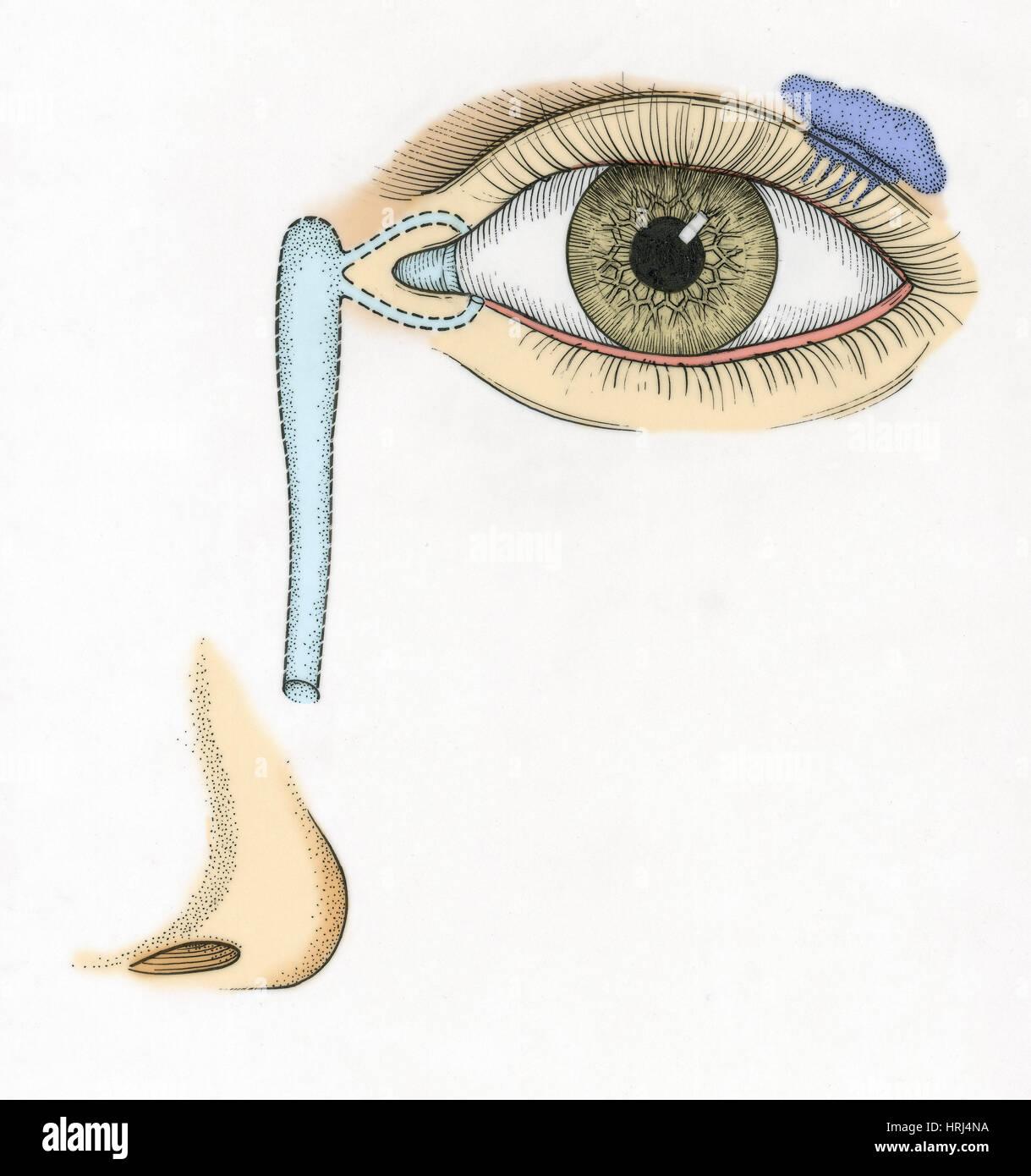 Illustration of Tear Duct Stock Photo: 135008534 - Alamy