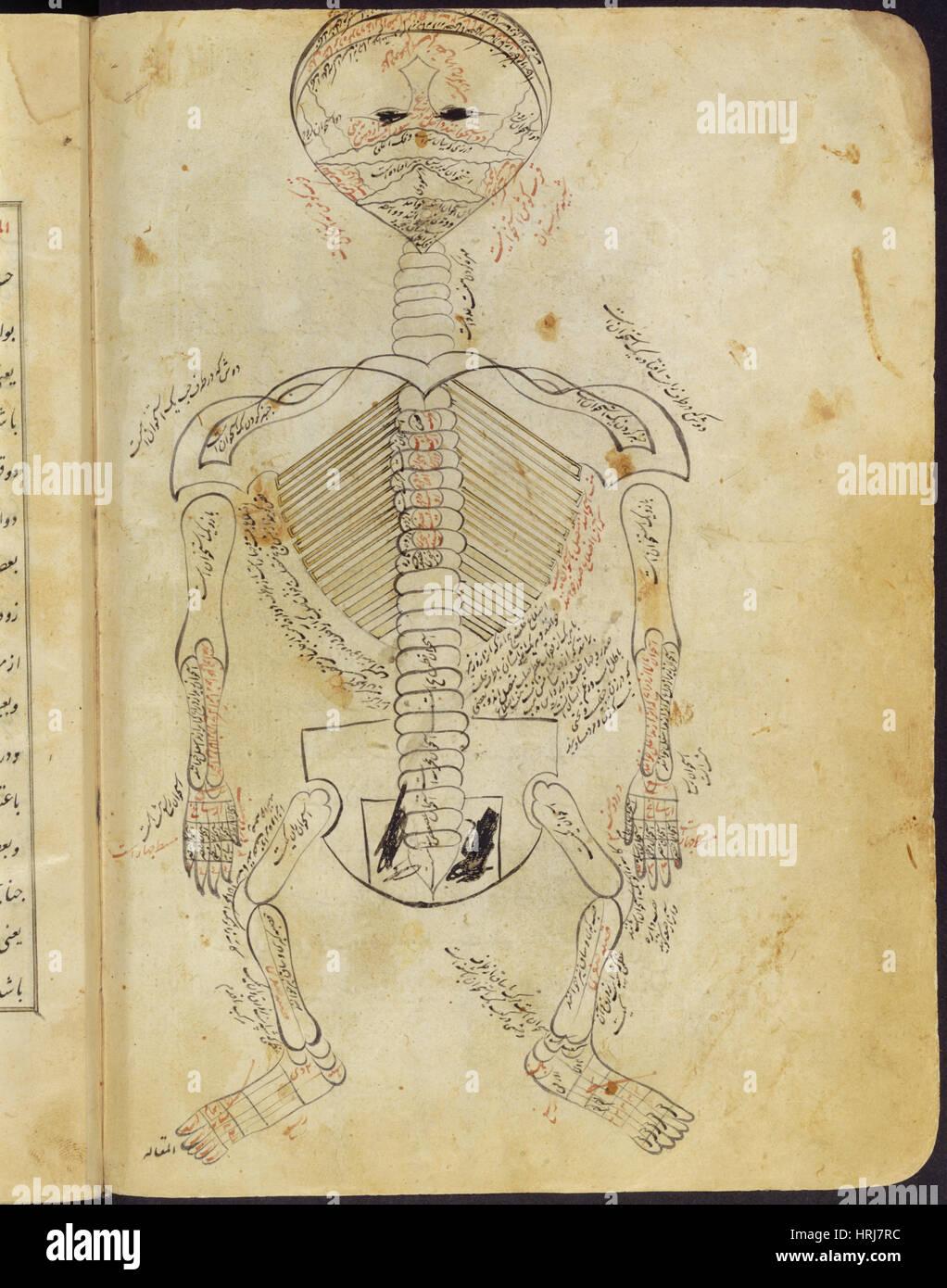 Anatomy Skeletal System Stock Photos & Anatomy Skeletal System Stock ...