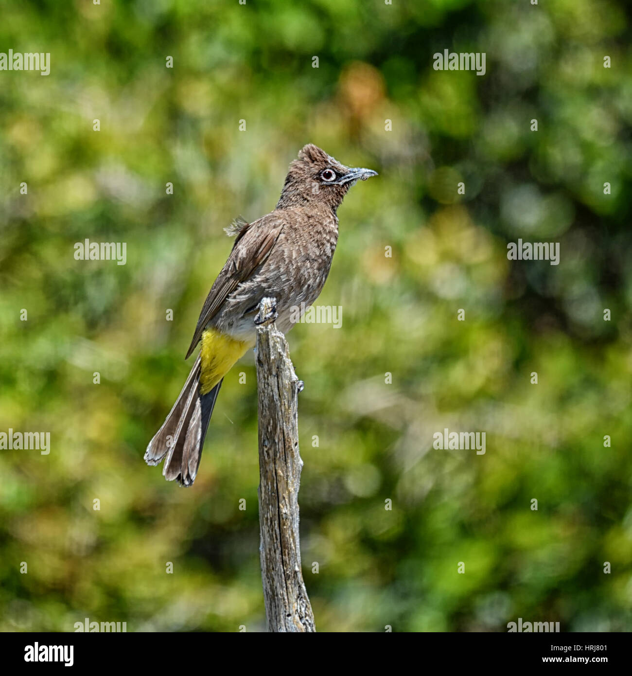 A Cape Bulbul bird perched on a branch in Southern Africa Stock Photo