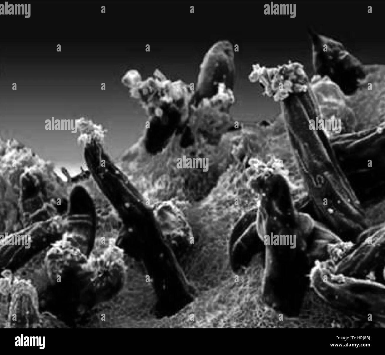 Plasmodium gallinaceum, SEM - Stock Image