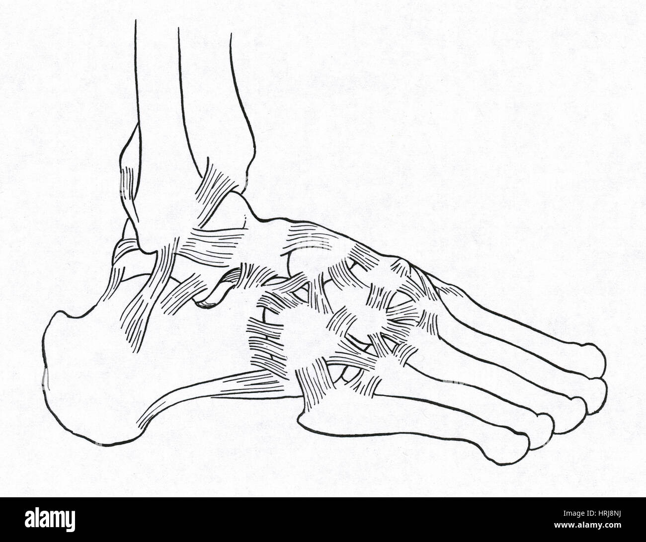 Anatomical Foot Stock Photos Anatomical Foot Stock Images Page 3