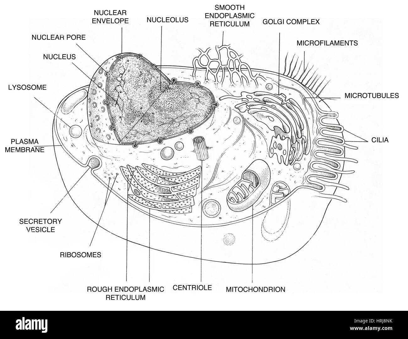 animal cell diagram HRJ8NK microfilament stock photos & microfilament stock images alamy