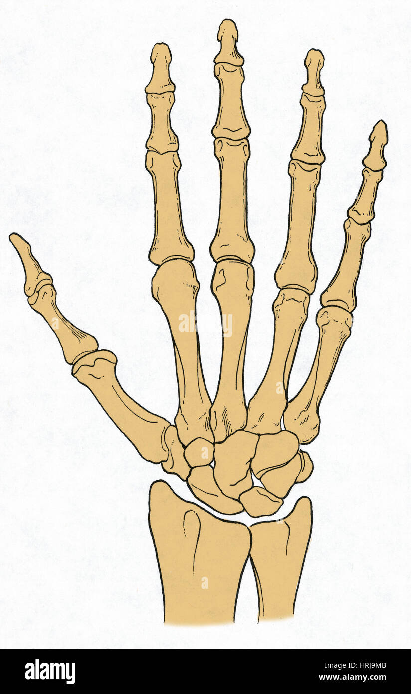 Hand And Wrist Bones Stock Photo 135012427 Alamy