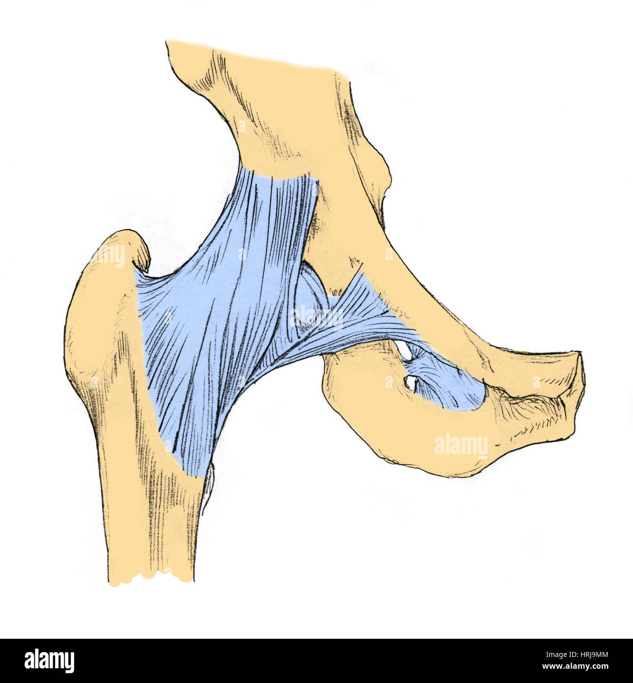 Ligament Of Bigelow Stock Photos & Ligament Of Bigelow Stock Images ...