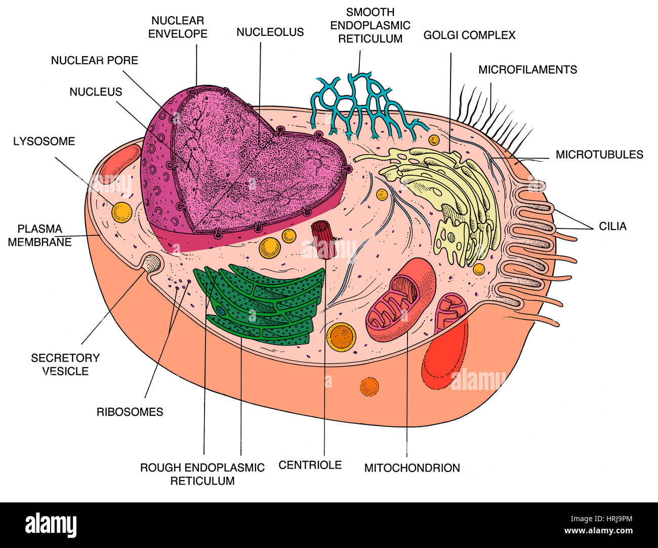 animal cell diagram HRJ9PM microfilament stock photos & microfilament stock images alamy