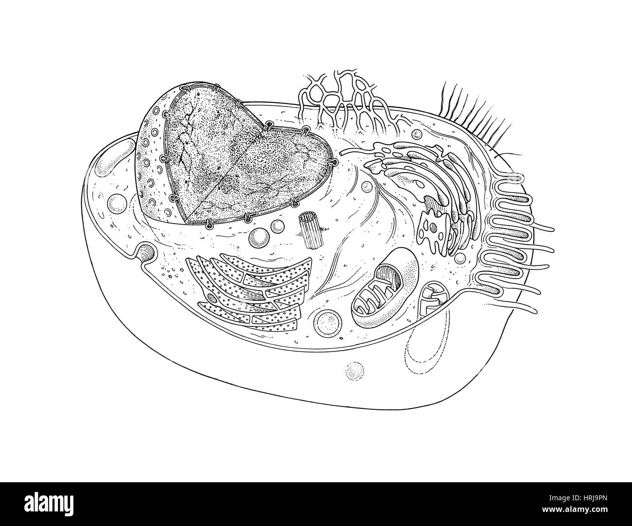 Animal cell diagram stock photo 135012493 alamy animal cell diagram ccuart Gallery