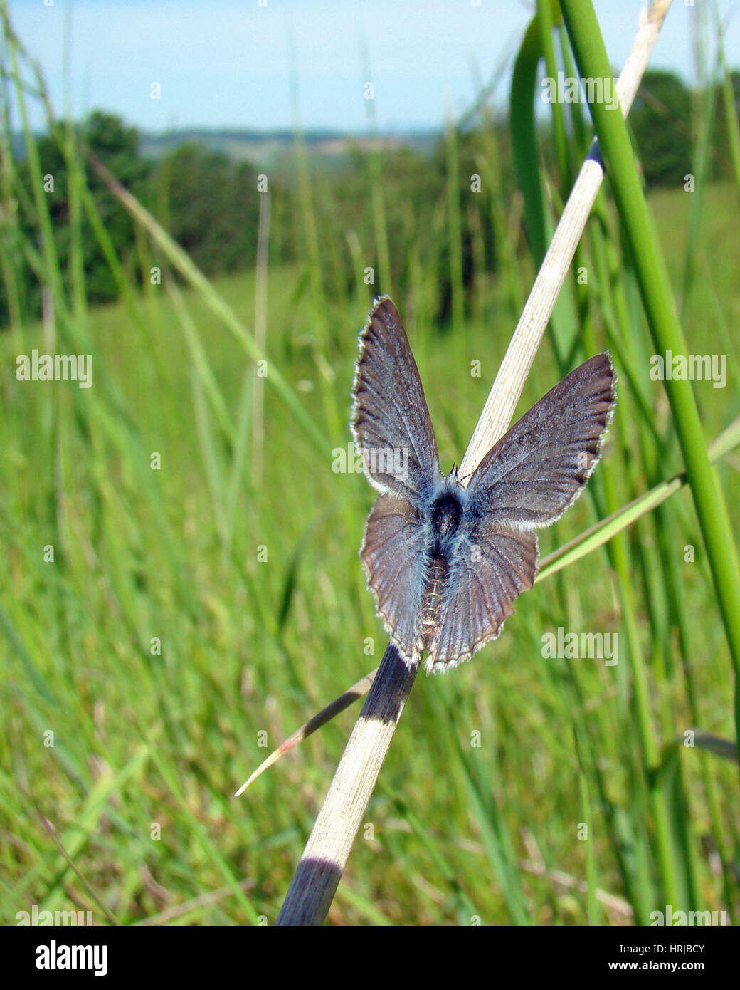Endangered Fender's Blue Butterfly - Stock Image