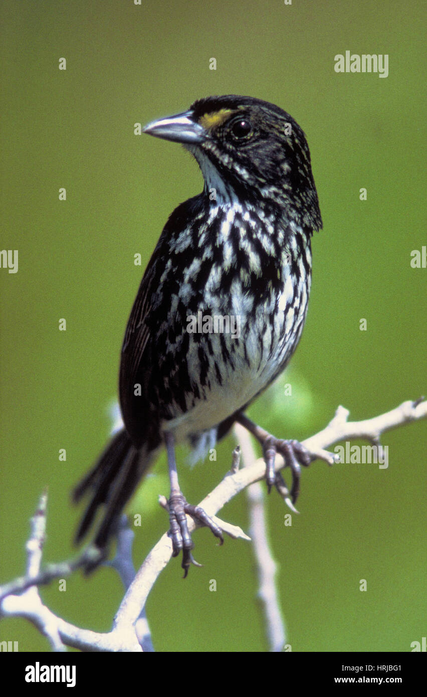 Extinct Dusky Seaside Sparrow - Stock Image
