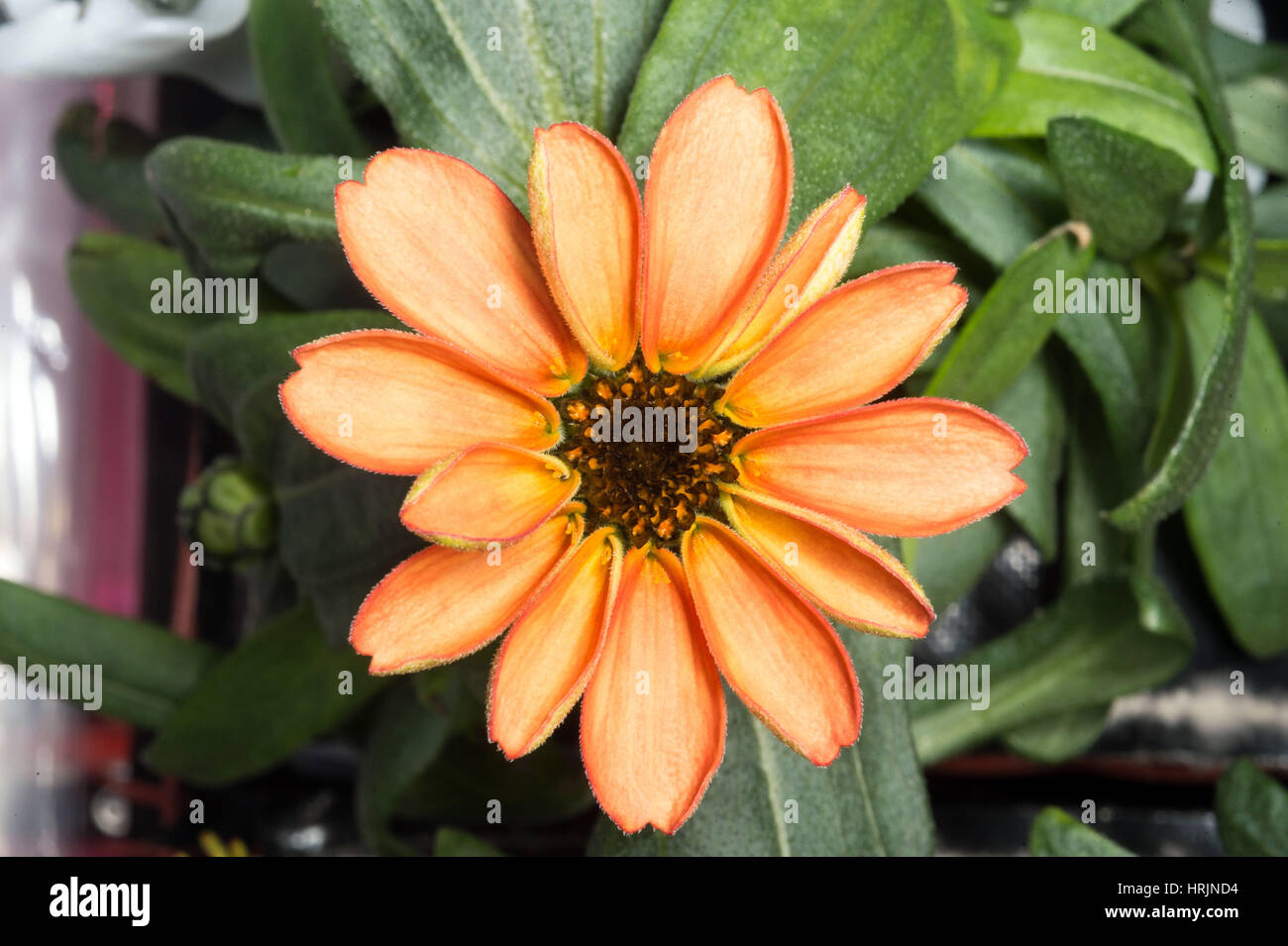 First Flower Grown Aboard ISS - Stock Image