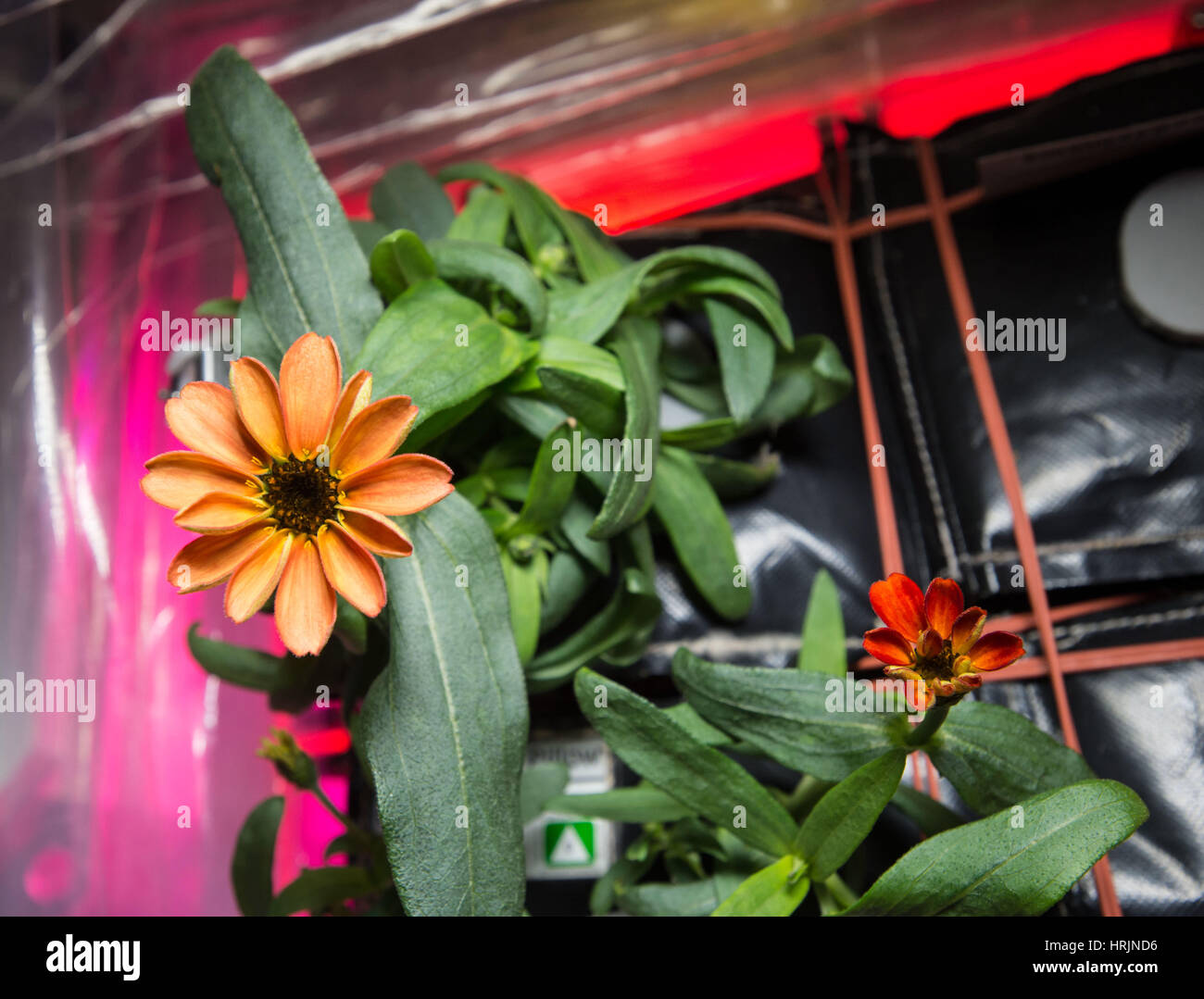Zinnia Grown Aboard ISS - Stock Image
