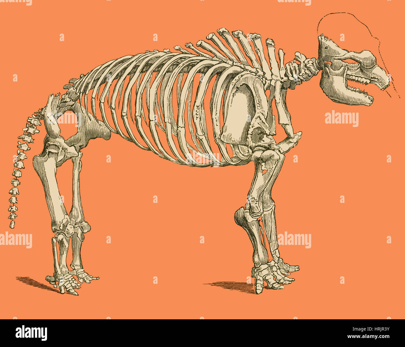 Mastodon Skeleton, Illustration - Stock Image