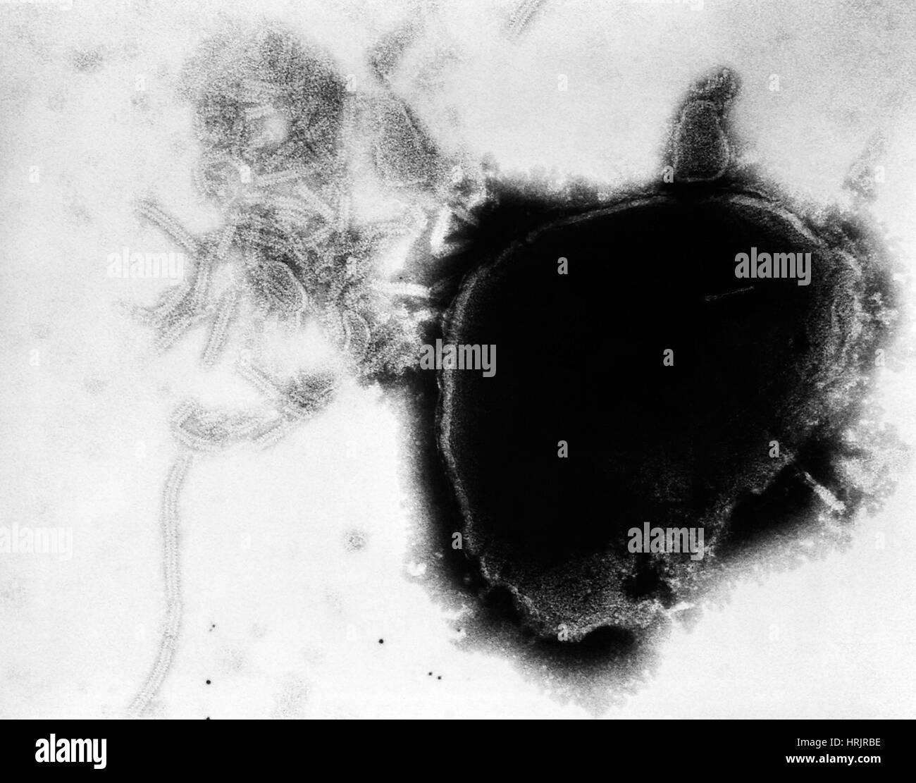 Paramyxovirus, Mumps Virus, TEM - Stock Image