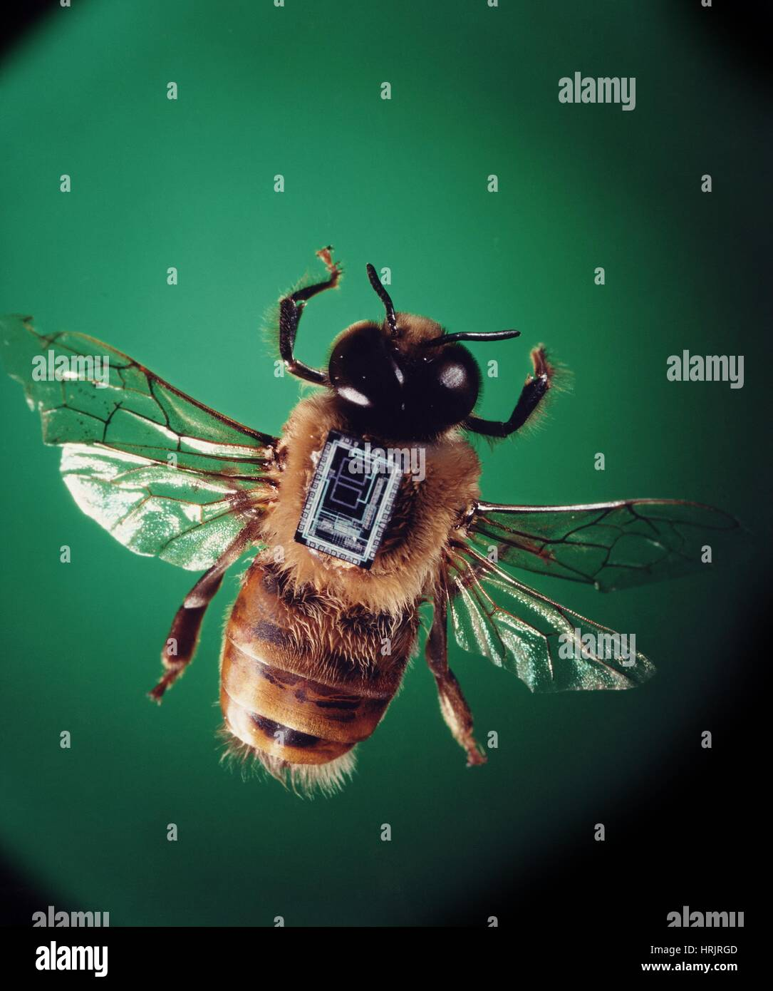 Transmitter mounted on a bee - Stock Image