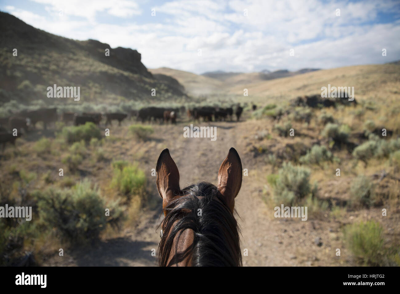 The perspective of a cowboy on horseback herding cattle in a dusty rural landscape. - Stock Image
