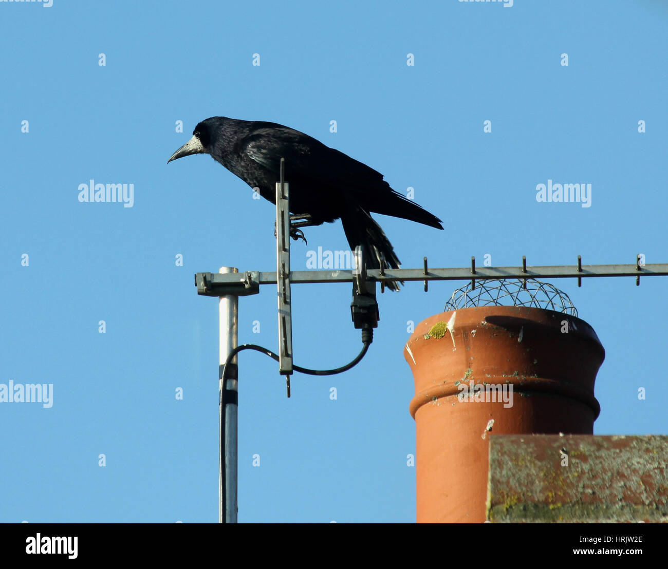 A rook perched on a television aerial next to a chimney at the edge of the ridgepole of a roof against a blue sky - Stock Image