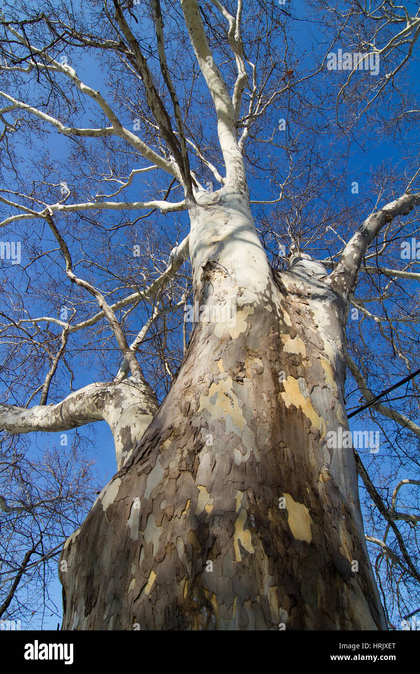 bottom to top vertical view of a white tree trunk and branches with no leafs against a blue sky background - Stock Image