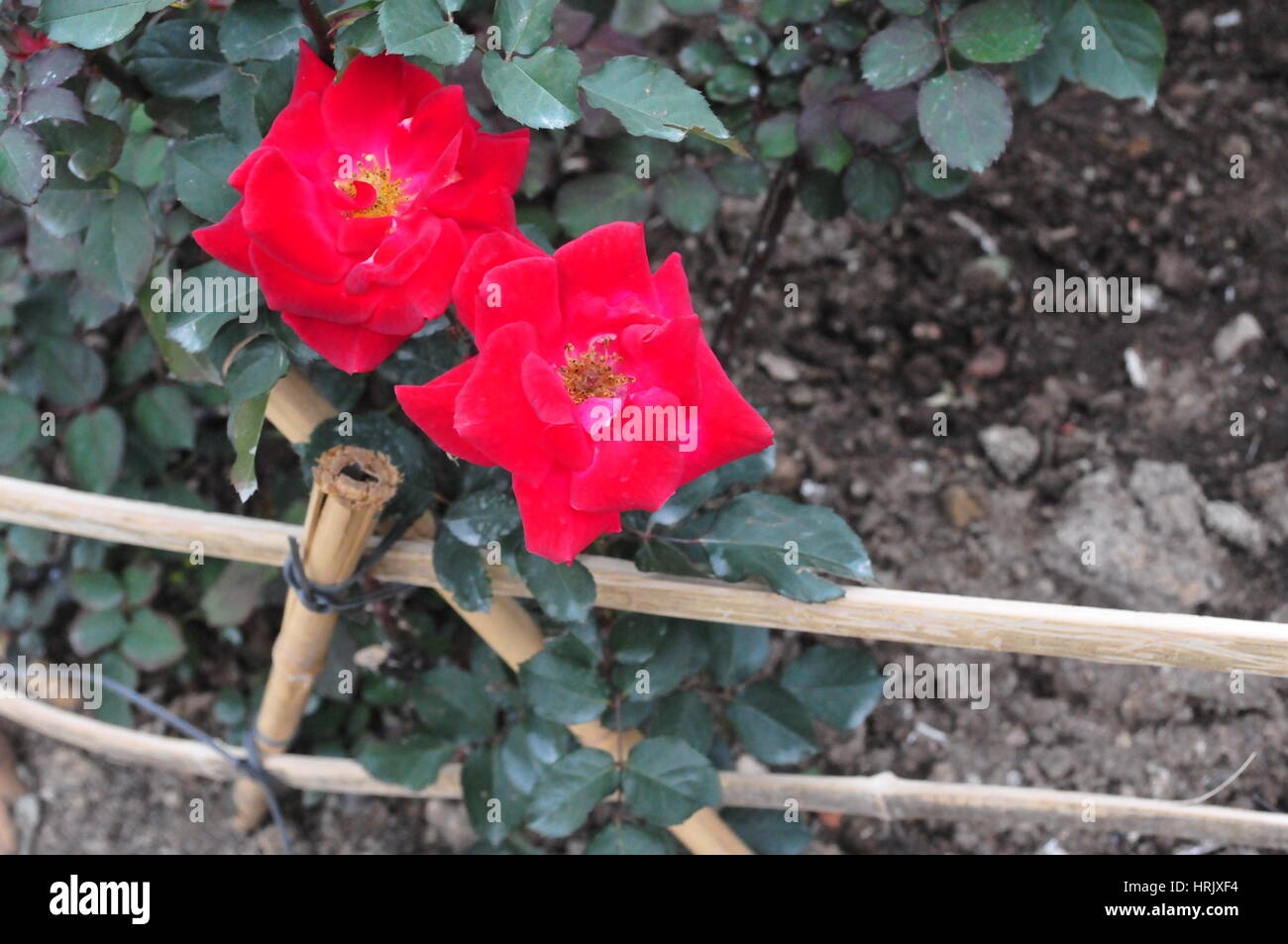 Asian Roses Growing Along a Fence - Stock Image