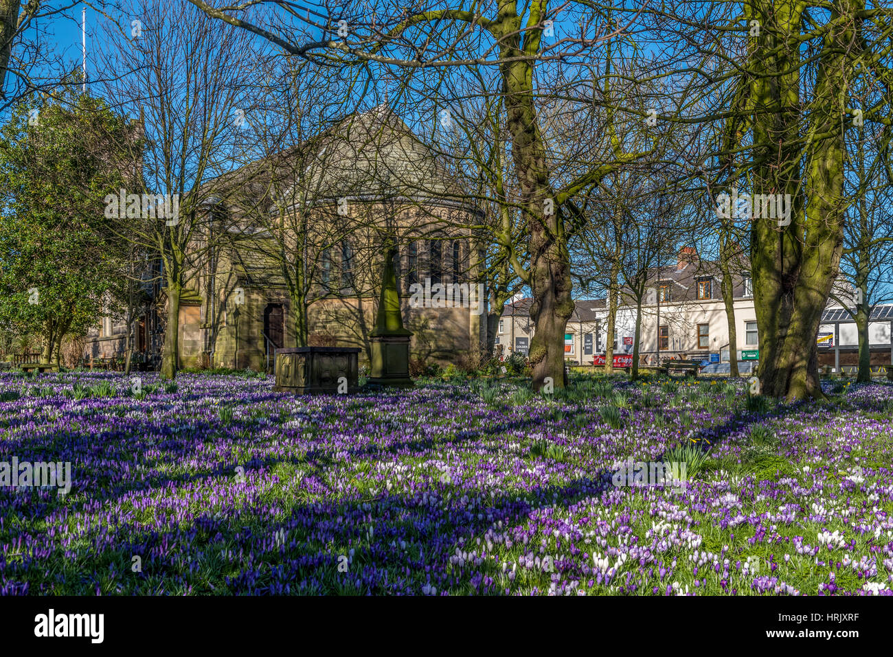 A carpet of Crocus in the churchyard at St.Chad's in Poulton-le-Fylde Lancashire - Stock Image