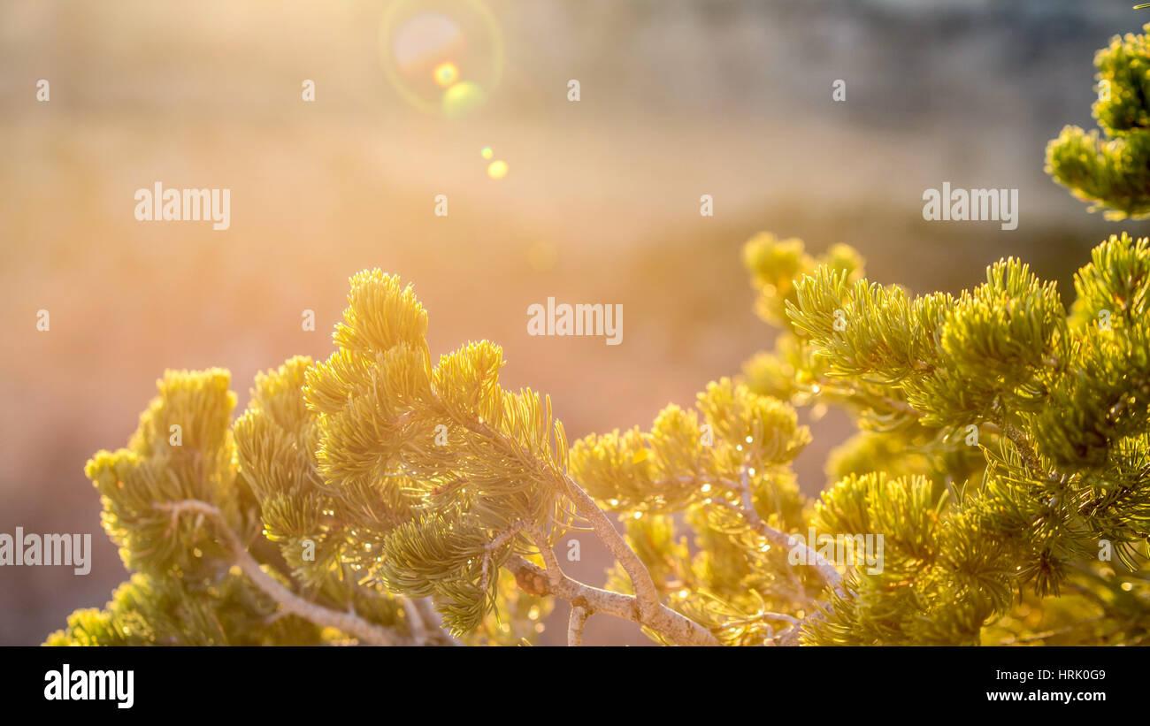 Pin tree snlight closeup - Stock Image
