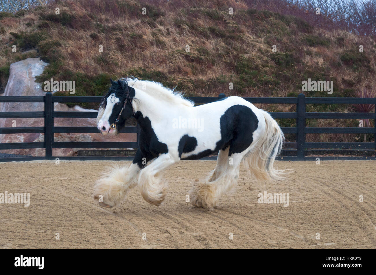 Lord of the Dance is an outstanding example of a true traditional Irish Cob stallion. - Stock Image