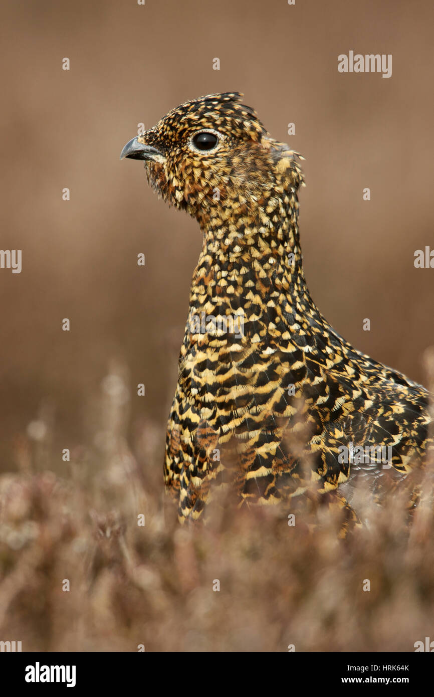 Red Grouse, Lagopus lagopus scotica, a golden speckled female bird, keeping down in the heather - Stock Image