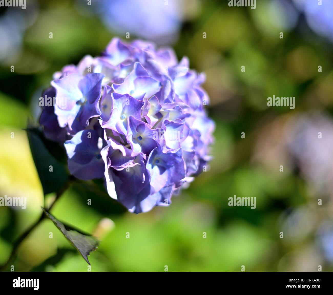 Large blue-purple hydrangea flowerhead - Stock Image