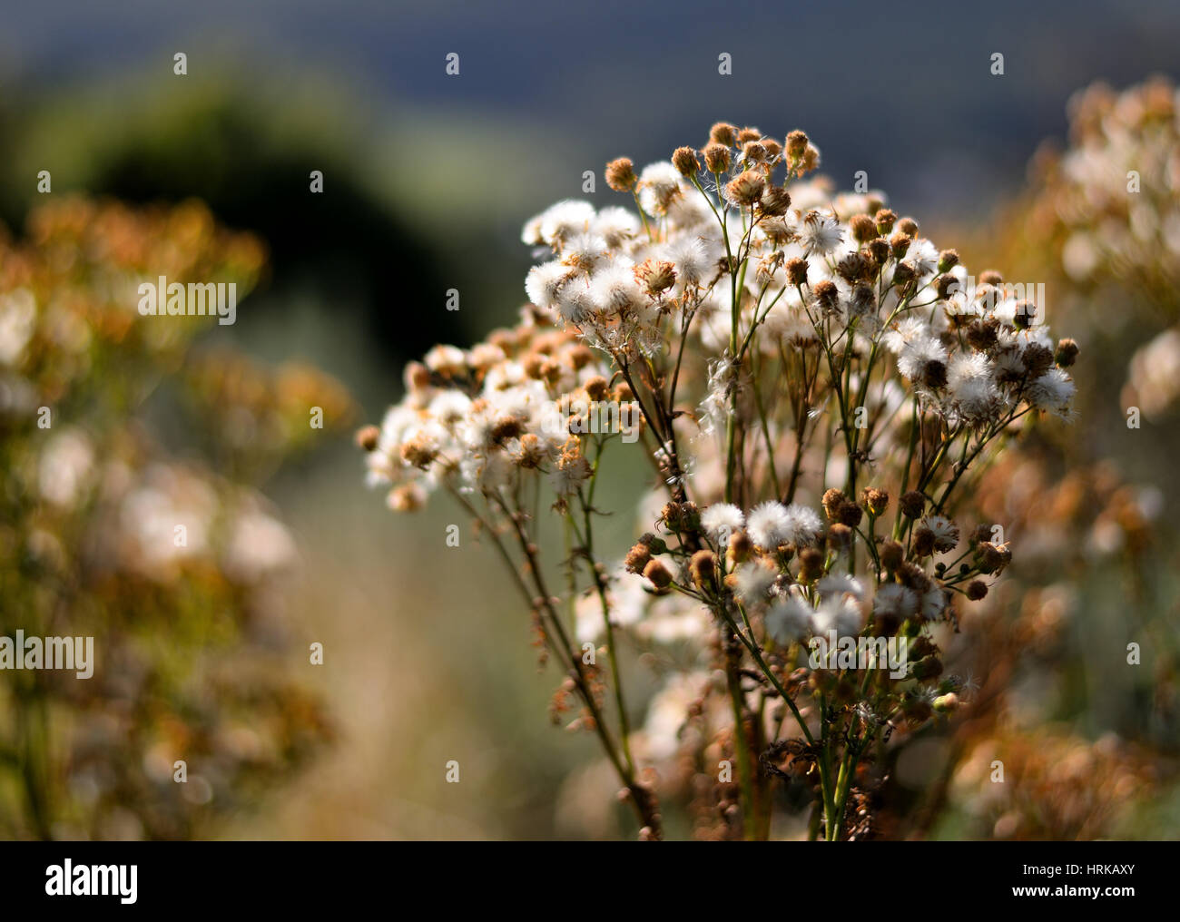 Autumn colours, fading plant - Stock Image