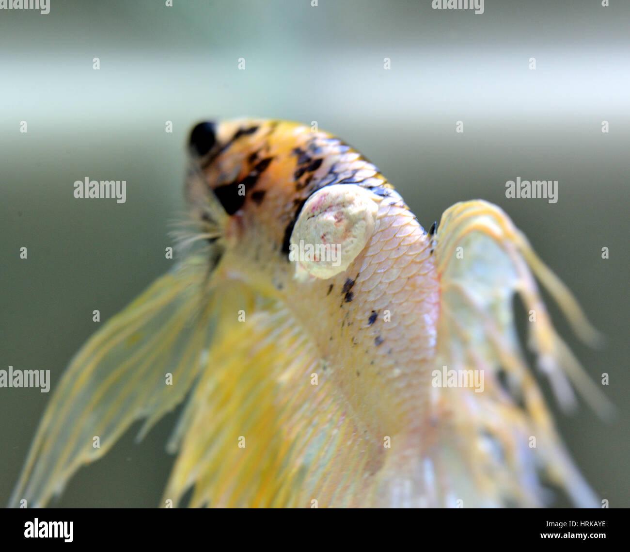 Aquarium Fish Disease Stock Photos Aquarium Fish Disease Stock