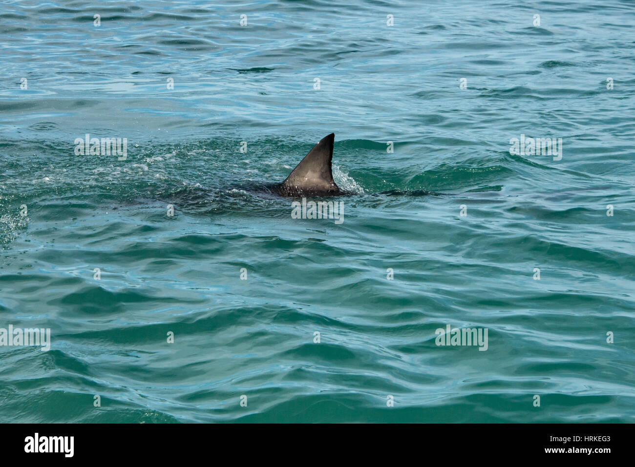 A great white shark's fin showing above the water Stock