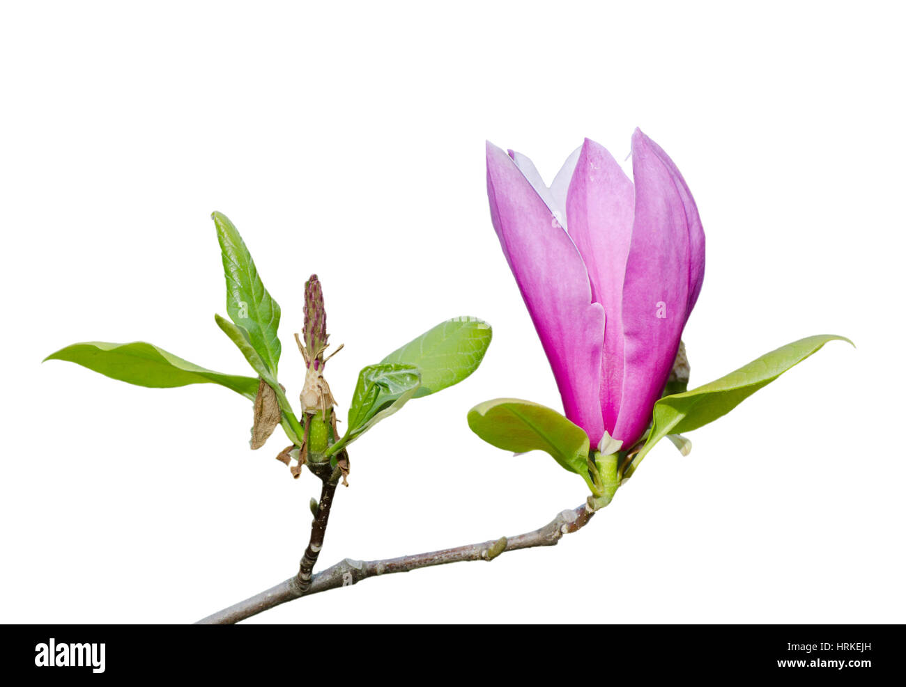 Branch Of Pink Magnolia Flower With Green Leaves Isolated On The