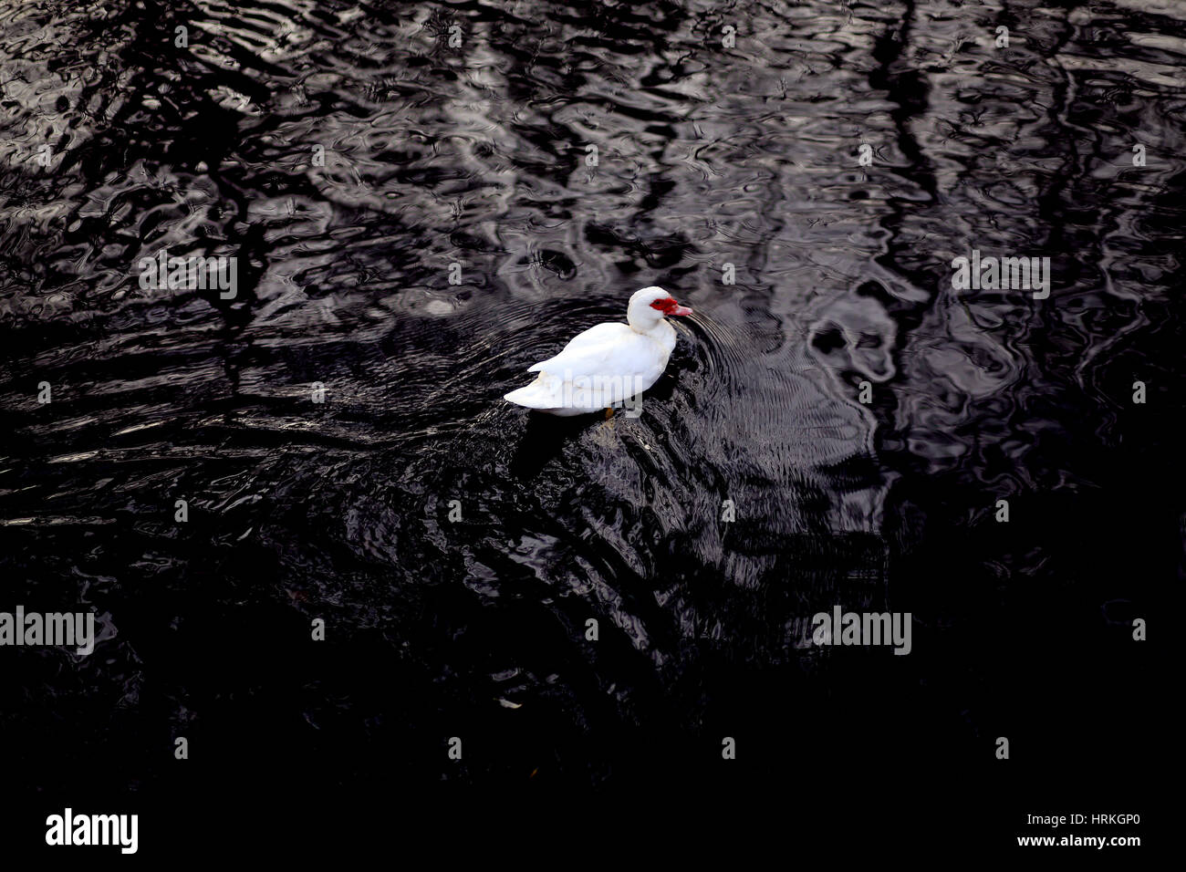American Pekin Duck swims in the black water of a pond Stock Photo