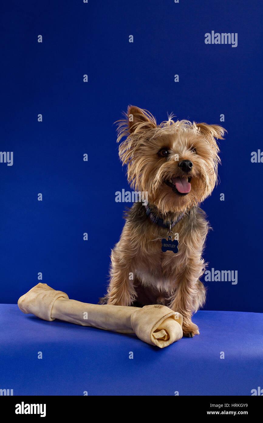 Yorkie with a Bone - Stock Image